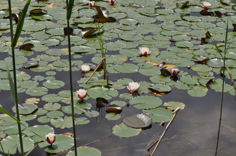 Au, el estanque